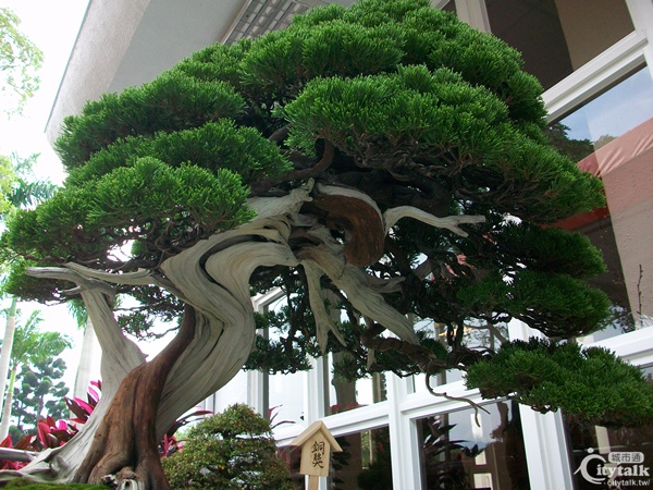 從展館的小陽台向內看,裡面是不能拍照、充滿無價之寶的室內展場。 所謂的「盆景」是仿擬大自然樹齡達百年的古樹,依照它們雄偉壯闊、奇形參天的姿態,將樹木植於盆栽(限制它生長的高度),再以鐵絲纏繞,固定成原來真樹的形狀,另外再依據想要表現的樹齡,將樹皮剝去逐次塗上硫磺水,製造古樹石化的部位與狀態(所謂石化即表示樹木已乾枯成為「木化石」),也就是展場盆景可見的「舍利幹」-白色枝幹。