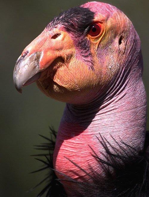 据说感染这种病毒的鸟类,只要身上长羽毛,就会因为皮肤疼痛难耐而自己