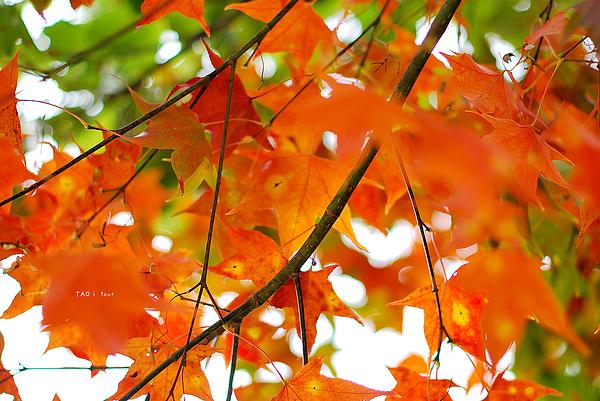 背景 壁纸 枫叶 红枫 绿色 绿叶 树 树叶 植物 桌面 600_401
