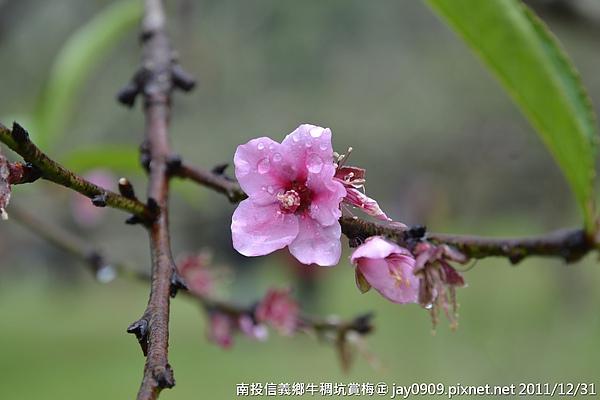 下过雨后的梅树,虽然还只有花苞,但是却让人家看了很久,它还在蓄积