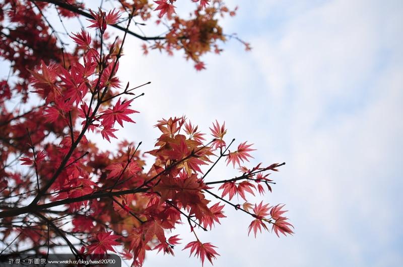 [一日游] 春枫秘境 猫空枫树红了