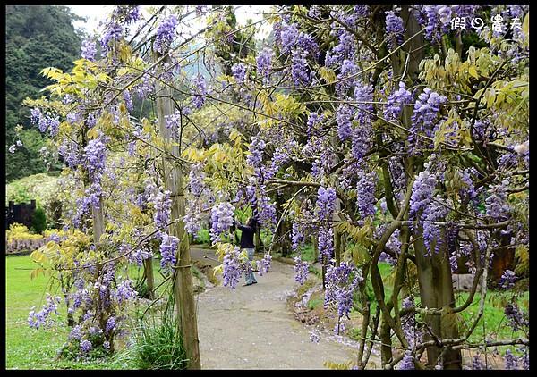 [一日游] 南投景点.杉林溪赏紫藤白藤