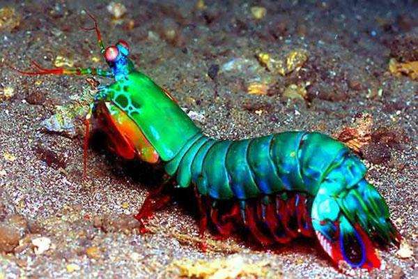 名為大西洋海神,主要是因為希臘神話中,海神Glaucus 無意中吃了神奇的草,使他不會死亡,但身體產生改變,雙手變成類似魚的鰭,雙腳也延伸變長為尾巴,和這種海蛞蝓神似,因此以之命名。 大西洋海神海蛞蝓以水螅、水母等刺絲胞動物為食,尤其偏愛僧帽水母,是含有劇毒的僧帽水母的剋星,會直接游近僧帽水母將牠抱住,再慢慢的由僧帽水母的觸手吃起。牠的身體常累積僧帽水母的毒素,會刺人並引起劇痛,所以觀察牠時要很小心,最好不要徒手抓牠。 7.狓